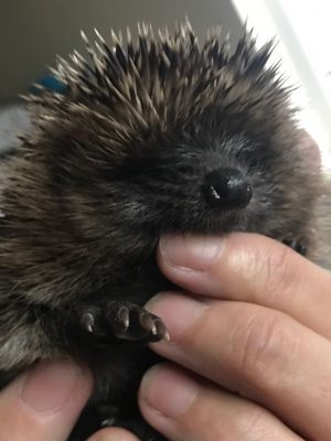 Hedgehog Awareness Week 2018